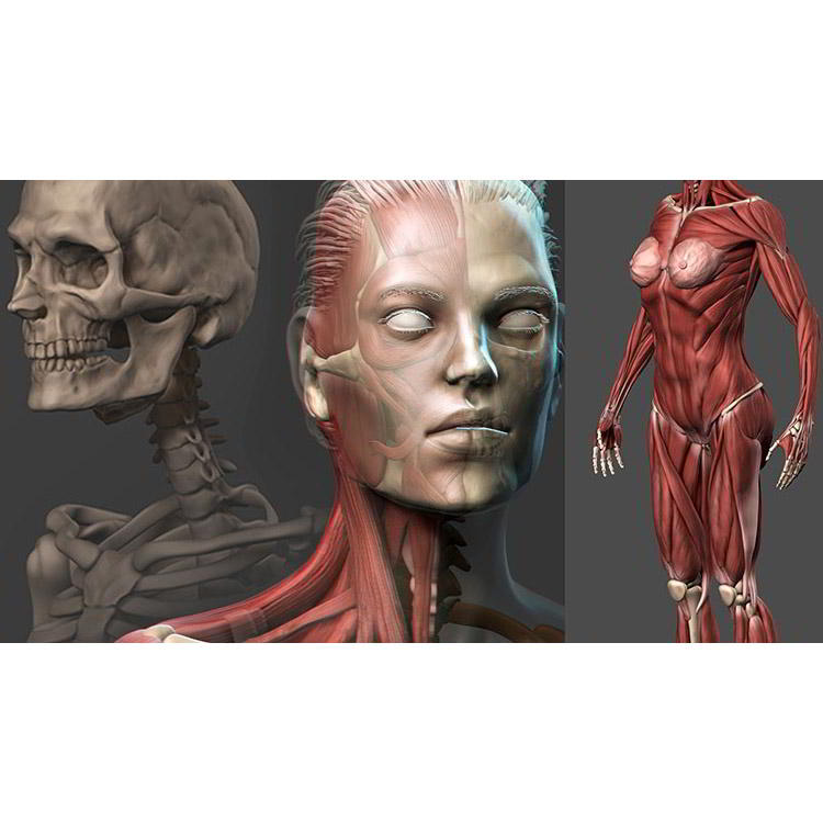 Photo of Female Anatomy Sculpting in Zbrush